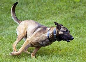 Kai, Westmoreland K9 Cadaver dog